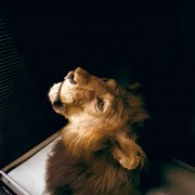 Saved-by-Science---African_lion.b